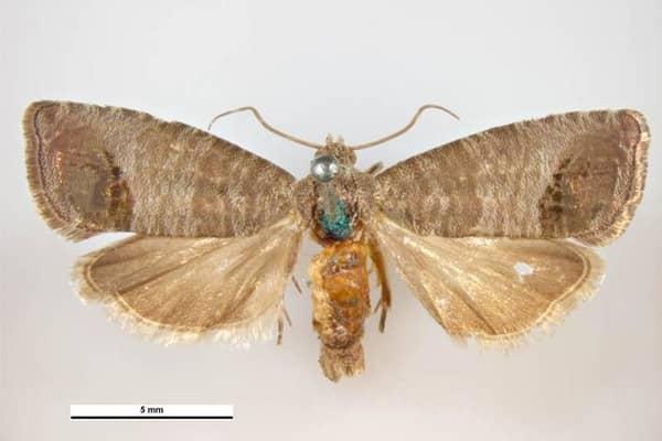 Cydia pomonella carpocapse papillon femelle