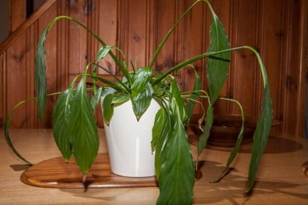 Plante aux racines endommagees par la sciaride