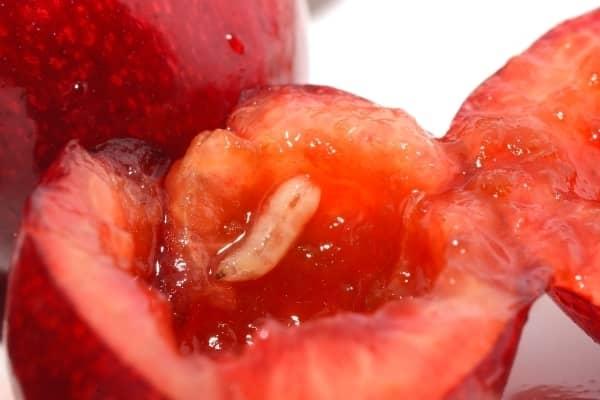 asticot blanc dans les cerises