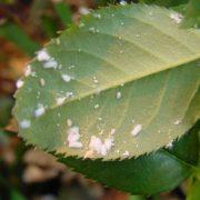 BioTop - Lutter contre LES COCHENILLES avec CRYPTOLAOMUS 25 adultes - pour 5 plantes d'intérieurs ou 2 arbres