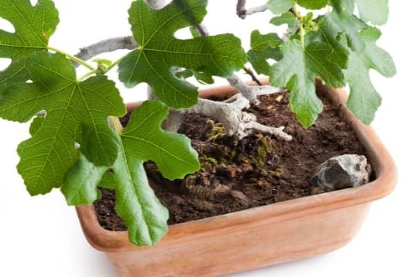 bonsai dans un substrat de mauvaise qualite
