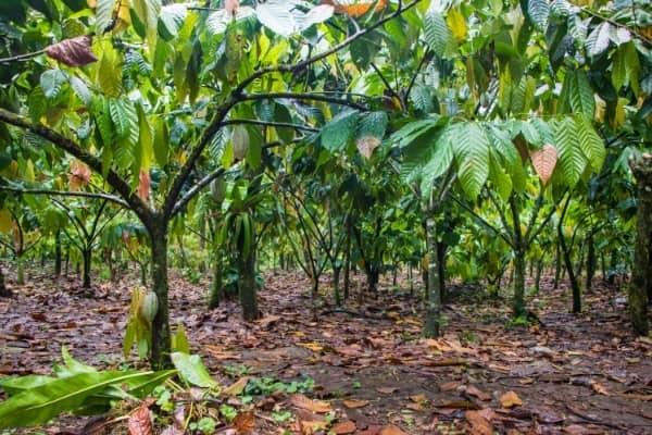 cacaoyer cabosse de cacao jardin