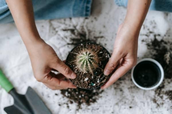 cactee dans terreau cactus