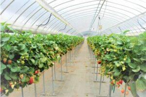 culture hydroponique de fraises sous serre