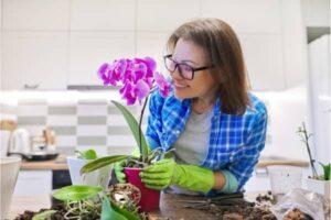 culture orchidee phalaenopsis