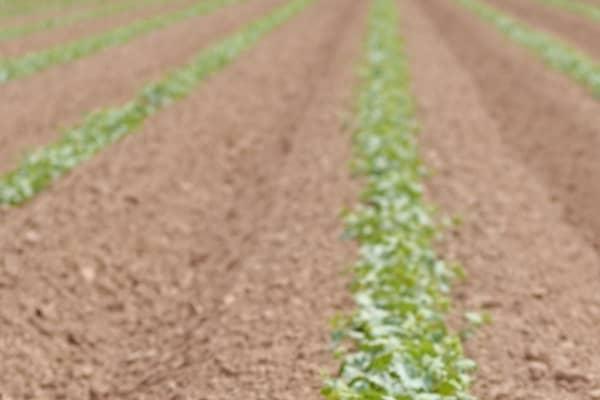 distances de plantation pour la culture du melon
