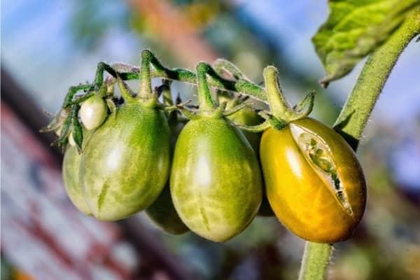 eclatement des tomates