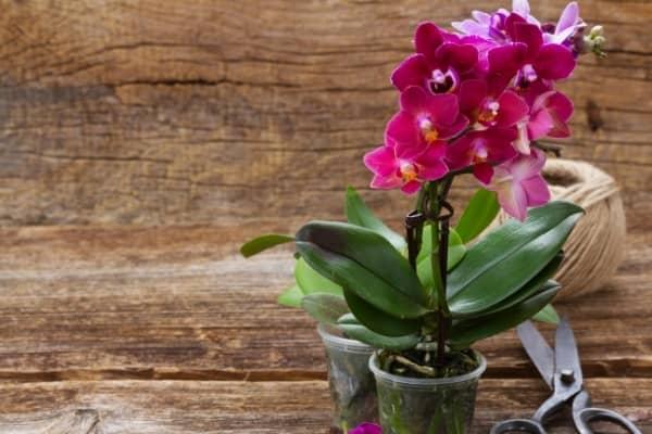 entretien orchidee phalaenopsis