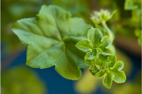feuilles de geranium lierre