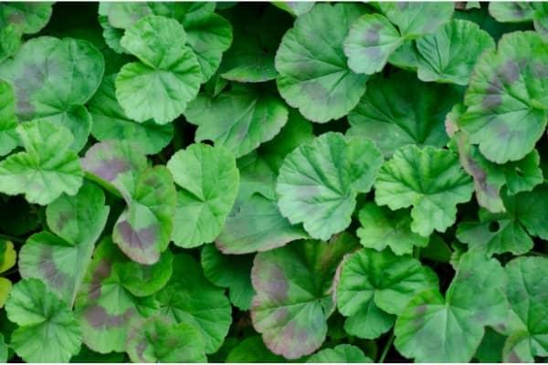 feuilles de geranium zonale