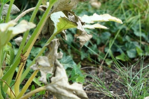 feuilles dessechees par le manque d eau