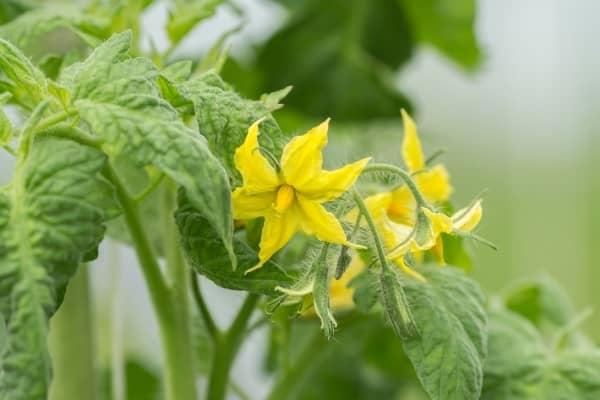floraison des fleurs de plant de tomate
