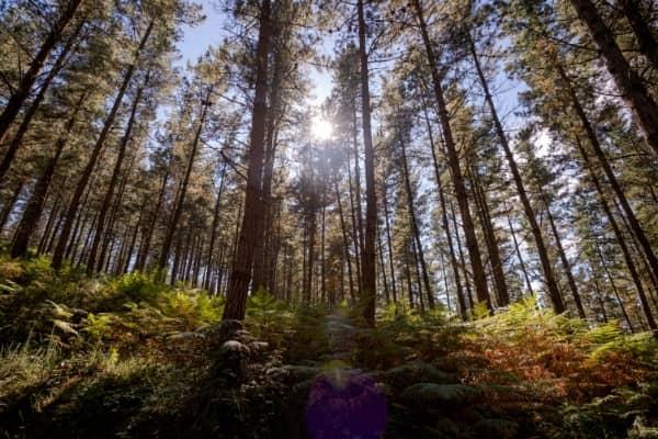 foret pinus radiata pin de monterey en nouvelle zelande orchiata