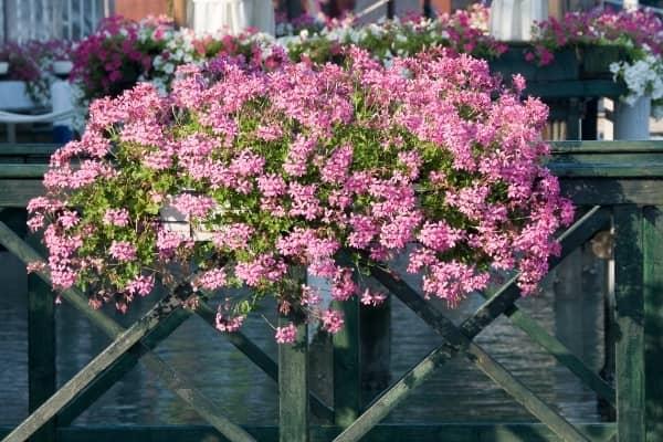 geranium d alsace a la petite venise de colmar
