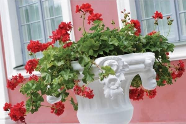 geranium lierre dans une vasque