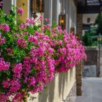 geranium lierre rose bouture godet