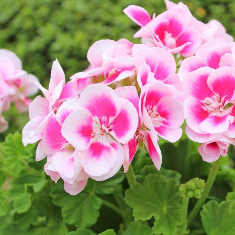geranium zonal droit mouchete blanc rose