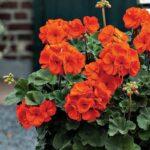 geranium zonal droit orange