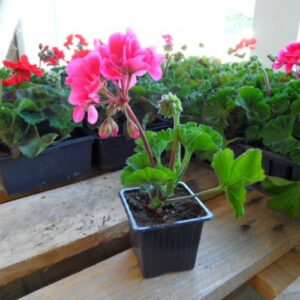 geranium zonal droit rose auxine jardinerie alternative