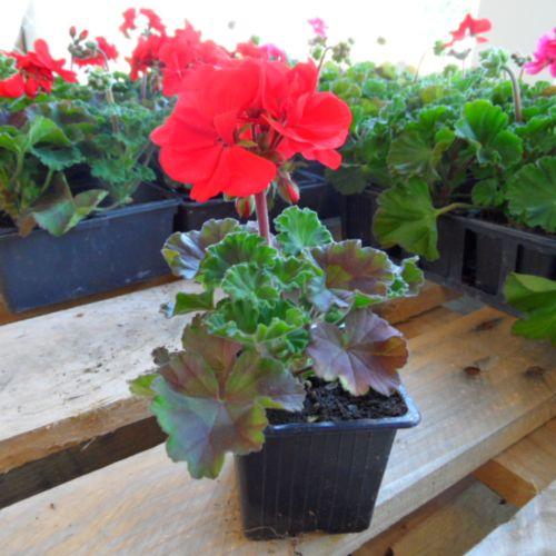 geranium zonal droit rouge auxine jardinerie alternative