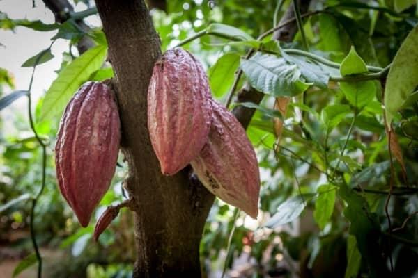 gousse de cacao cabosse jardin