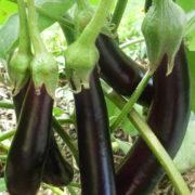 Graine Kokopelli - Aubergines - Longue Violette Hâtive - Solanum melongena - P0310 - Sachet de 30 graines