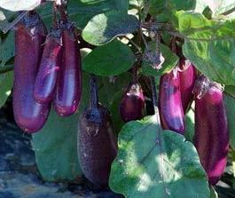 Graine Kokopelli - Aubergines - Slim Jim - Solanum melongena - P0315 - Sachet de 30 graines