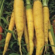 Graine Kokopelli - Carottes - Jaune du Doubs - Daucus carota - P0614 - Sachet de 4 grammes