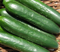 Graine Kokopelli - Concombres - Green Fingers - Cucumis sativus - L0083 - Sachet de 25 graines