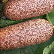 Graine Kokopelli - Concombres - Poona Kheera - Cucumis sativus - P1835 - Sachet de 25 graines