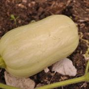 Graine Kokopelli - Courges moschata - Butternut Ponca - Cucurbita moschata - P2305 - Sachet de 12 graines