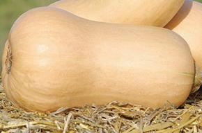 Graine Kokopelli - Courges moschata - Canada Mezoides - Cucurbita moschata - P2314 - Sachet de 12 graines