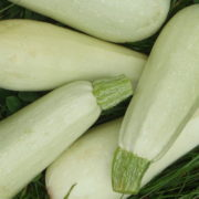 Graine Kokopelli - Courgettes - Blanche de Trieste - Cucurbita pepo - P2633 - Sachet de 12 graines
