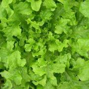 Graine Kokopelli - Laitues à couper - Emerald Oak - Lactuca sativa - P4158 - Sachet de 1 gramme