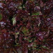 Graine Kokopelli - Laitues batavias - Rouge Grenobloise - Lactuca sativa - P3611 - Sachet de 1 gramme