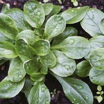 Graine Kokopelli - Mâches - D'Étampes - Valerianella locusta - P8002 - Sachet de 4 grammes