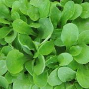 Graine Kokopelli - Mâches - Verte à Coeur Plein - Valerianella locusta - P8012 - Sachet de 4 grammes