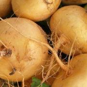 Graine Kokopelli - Navets - Jaune Boule d'Or - Brassica rapa - P5404 - Sachet de 500 graines
