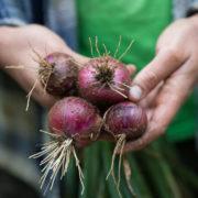 Graine Kokopelli - Oignons - De St Turjan - Allium cepa - L0030 - Sachet de 1 gramme
