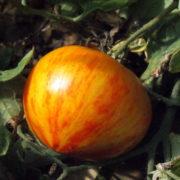 Graine Kokopelli - Tomates bigarrées de mi-saison - Copia - Solanum lycopersicum - P7450 - Sachet de 35 graines