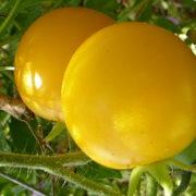 Graine Kokopelli - Tomates-cerises jaunes de mi-saison - Garden Sun - Solanum lycopersicum - P6082 - Sachet de 35 graines