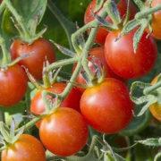 Graine Kokopelli - Tomates-cerises rouges très précoces - Koralik - Solanum lycopersicum - L0036 - Sachet de 35 graines