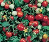 Graine Kokopelli - Tomates-cerises rouges très précoces - Red Robin - Solanum lycopersicum - P6028 - Sachet de 35 graines
