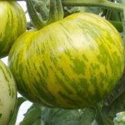 Graine Kokopelli - Tomates vertes de mi-saison - Green Zebra Arizona Hawai Strain - Solanum lycopersicum - P6083 - Sachet de 35 graines