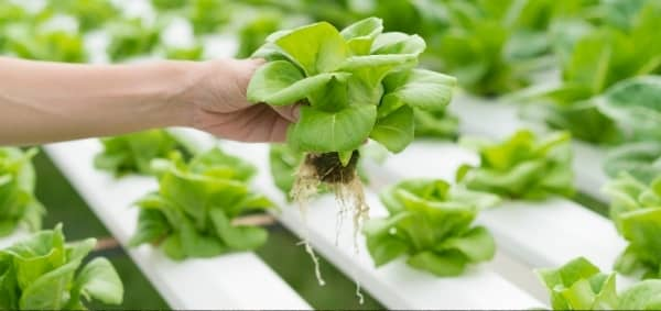 hydroponie aeroponie salade systeme auxine jardinerie alternative colmar