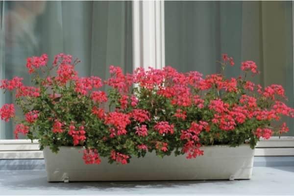 jardiniere de geraniums lierre