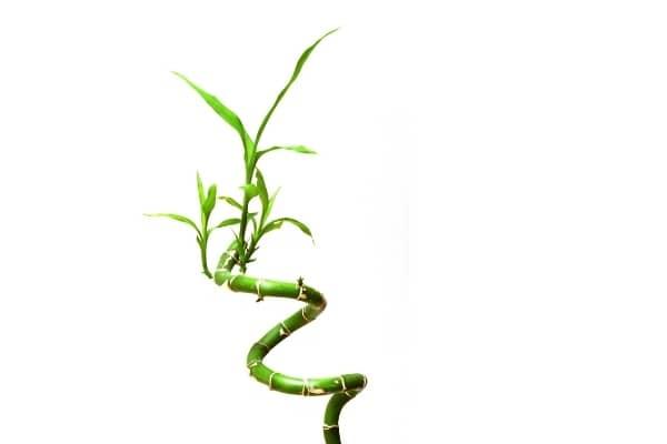 lucky bambou dracaena sanderiana