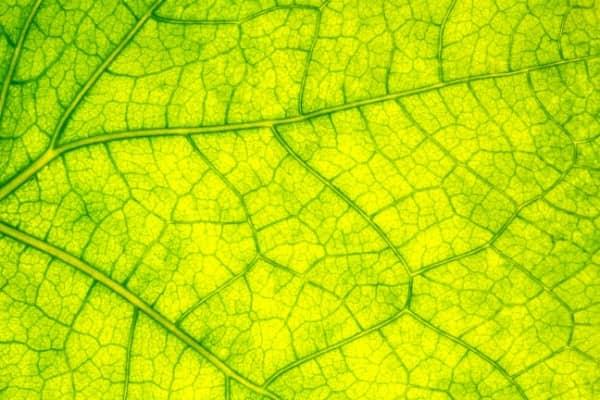 magnesium pour la chlorophyle