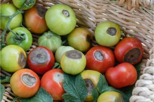 necrose apicale sur les fruits