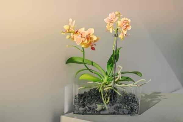 orchidee cultivee dans la pomice